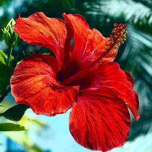 Hibisco resistente, plantas perennes, plantas facil mantenimiento