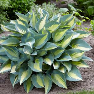 Hosta, plantas perennes, plantas facil mantenimiento
