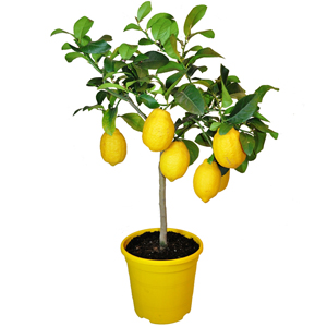 Limonero, planta limón, planta para regalar