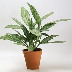 Planta Perenne China, aglaonema