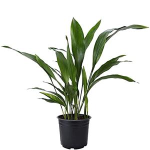 Planta de hierro, planta poco cuidado