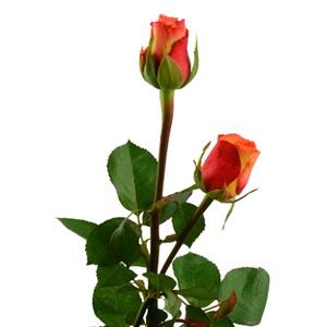 Rosas, planta para regalar