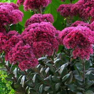 Sedum, plantas perennes, plantas facil mantenimiento