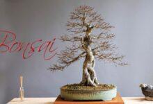Bonsai | Historia, Cuidados y los 5 Más Famosos del Mundo!