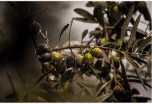 15 Increíbles Beneficios de la Aceituna, el Aceite de Oliva y de las Semillas de Aceituna