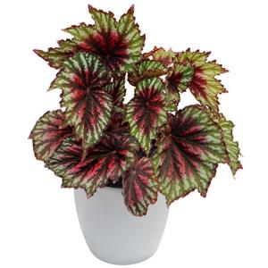 planta interior, cuidado plantas suculentas, Plantas Suculentas, Begonia Rex