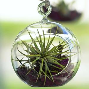 planta interior, cuidado plantas suculentas, Plantas Suculentas, Clavel del Aire