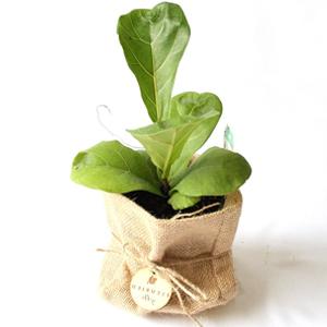 , planta interior, cuidado plantas suculentas, Plantas Suculentas, Fiddle Leaf Fig