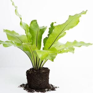 Planta de Interior Helecho Nido de Ave