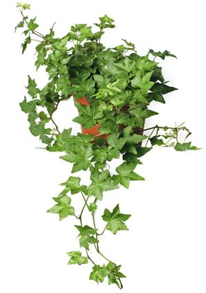 planta interior, cuidado plantas suculentas, Plantas Suculentas, Hiedra Inglesa