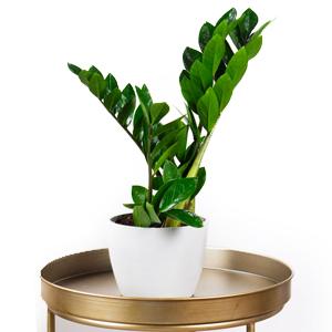 planta interior, cuidado plantas suculentas, Plantas Suculentas, Planta ZZ