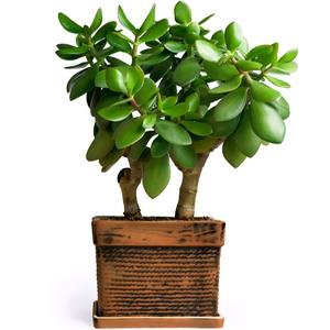 Planta de Jade, planta interior, cuidado plantas suculentas, Plantas Suculentas, crasulas, cactus,
