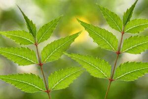 Planta de Neem, arbol de neem, semilla de neem