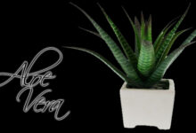 Beneficios de la Sábila o Aloe Vera