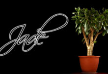 Significado y Cuidados de la Planta de Jade