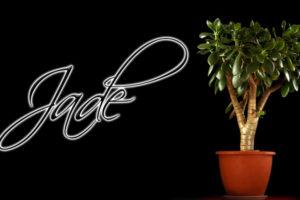 planta del dolar, árbol de Jade, cual es el significado de la planta de jade, planta de la amistad, Cultivo de plantas de Jade, cuidado de la Crassula ovata, Crassula ovata, planta de la suerte, Feng Shiu en la planta de jade, planta de Jade, significado y cuidados de la planta de Jade,