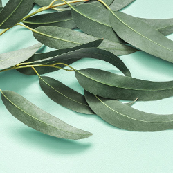 planta lavanda repelente, planta repelente de insectos, Plantas Repelentes de Mosquitos, repelente eucalipto