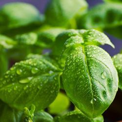 planta lavanda repelente, planta repelente de insectos, Plantas Repelentes de Mosquitos, repelente albaca