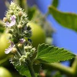 planta lavanda repelente, planta repelente de insectos, Plantas Repelentes de Mosquitos