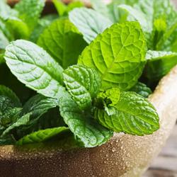 planta lavanda repelente, planta repelente de insectos, Plantas Repelentes de Mosquitos, repelente menta