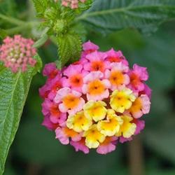 planta lavanda repelente, planta repelente de insectos, Plantas Repelentes de Mosquitos, repelente lantana