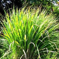 planta lavanda repelente, planta repelente de insectos, Plantas Repelentes de Mosquitos, limoncillo