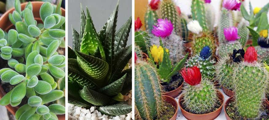 planta interior, cuidado plantas suculentas, Plantas Suculentas, crasulas, cactus,