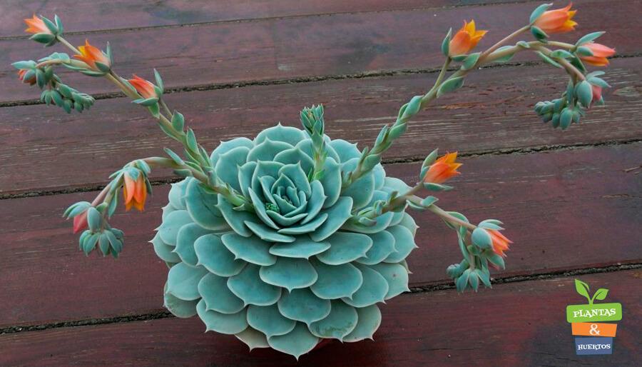 Plantas Suculentas Fantasma, planta interior, cuidado plantas suculentas, Plantas Suculentas, crasulas, cactus,