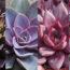 Plantas Suculentas echeveria, planta interior, cuidado plantas suculentas, Plantas Suculentas, crasulas, cactus,