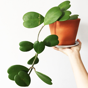 Plantas Suculentas Hoya, Plantas Crasulas Colgantes