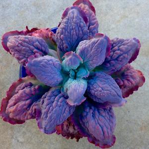 Plantas Suculentas Raras, planta interior, Plantas Suculentas, crasulas, cactus,