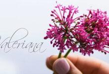 Valeriana para el Estrés | Que es, Usos y Beneficios