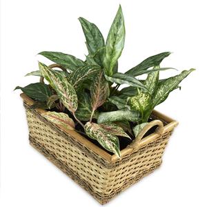 Plantas de Interior Aglaonema china