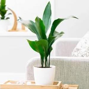 Plantas de Interior Aspidistra elatior