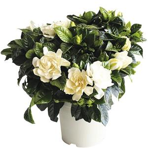 Plantas de Interior Gardenia