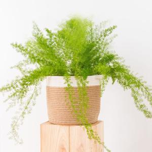Plantas de Interior Helecho de espárrago