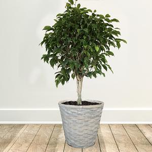 Plantas de Interior Higo llorón