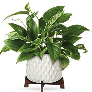 Plantas de Interior Pothos