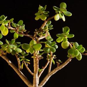 Planta de Jade, Plantas de Interior Zodíaco,