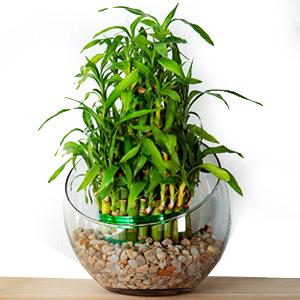 Plantas de Interior con agua Bambú de la Suerte