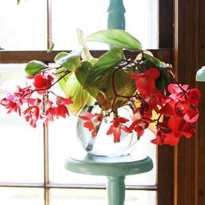 Plantas de Interior con agua Begonia