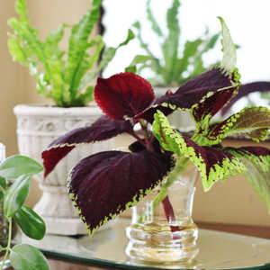 Plantas de Interior con agua Coleus