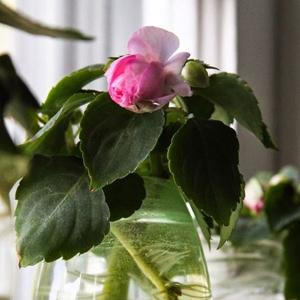 Plantas de Interior con agua Impatients