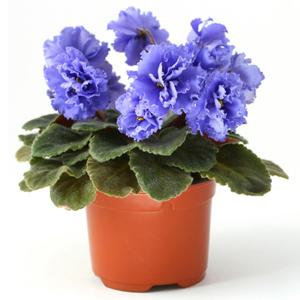 Plantas de Interior con agua Violeta africana