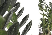 Planta Zamioculca Raven Feng Shui, Origen y Cuidados