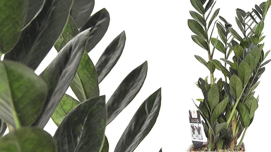 Plantas Zamioculca Raven, planta cuervo zz, planta zz, zamiifolia