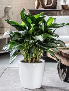 plantas para restaurant, plantas para oficina, Plantas para negocios Aglaonema