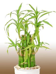 plantas para restaurant, plantas para oficina, Plantas para negocios Bambú