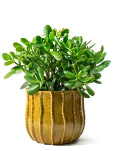 plantas para restaurant, plantas para oficina, Plantas para negocios Jade
