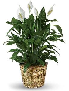 plantas para restaurant, plantas para oficina, Plantas para negocios Lirio de la Paz